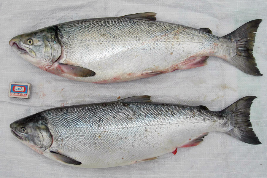 Кижуч Oncorhynchus kisutch (самец и самка)