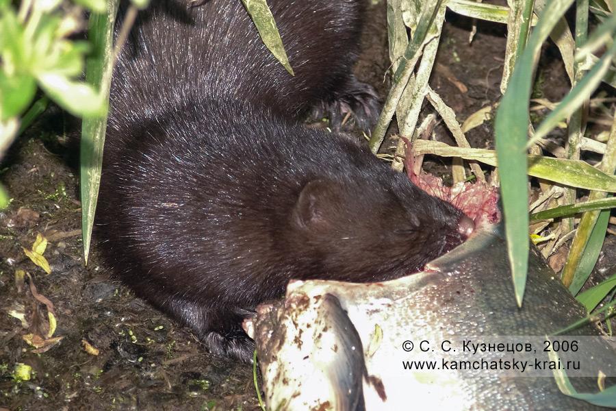 Норка ест красную рыбу на реке Большой  (полуостров Камчатка)