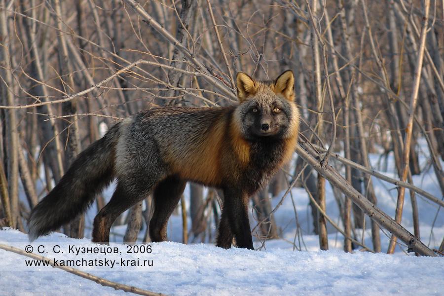 Симпатичная лиса в камчатском лесу