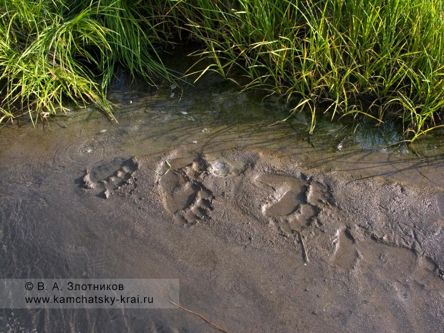 Следы камчатского бурого медведя на мокром песке