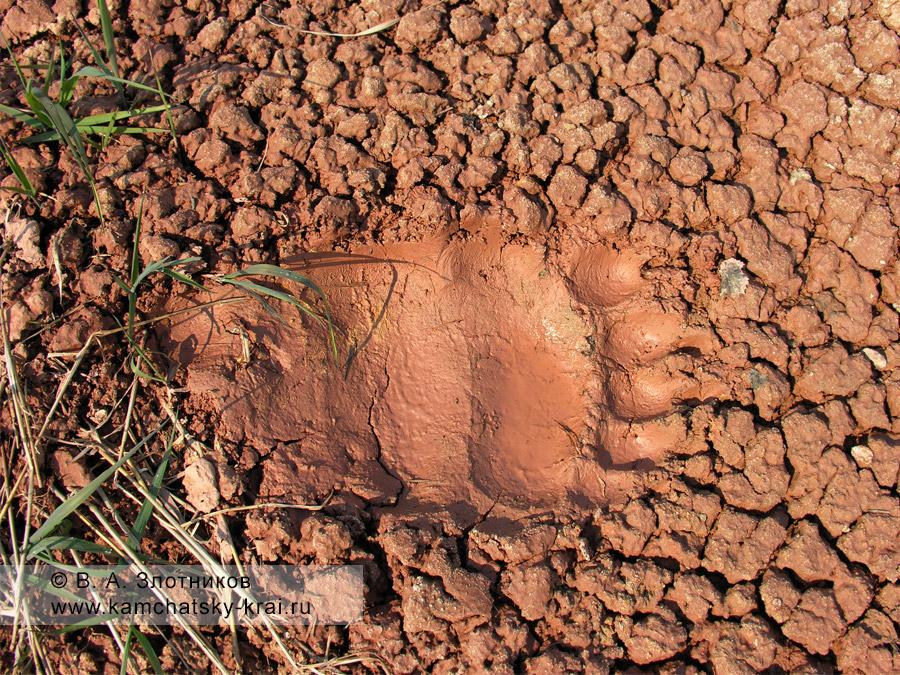 След камчатского бурого медведя у грязевого котла в Долине гейзеров