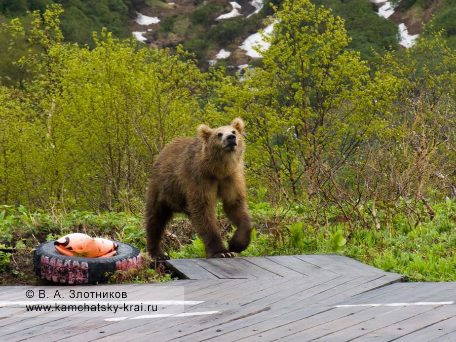 Камчатский бурый медведь. Хозяин в гостях (Долина гейзеров)