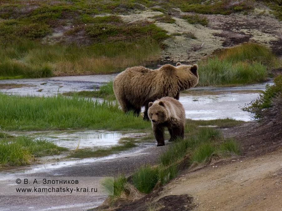 Медведица с медвежонком в кальдере вулкана Узон