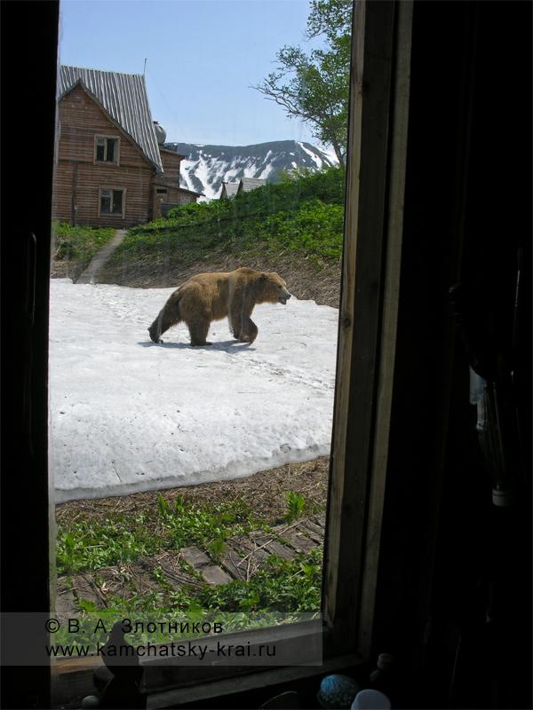 Камчатский бурый медведь у кордона инспекторов Кроноцкого заповедника в Долине гейзеров