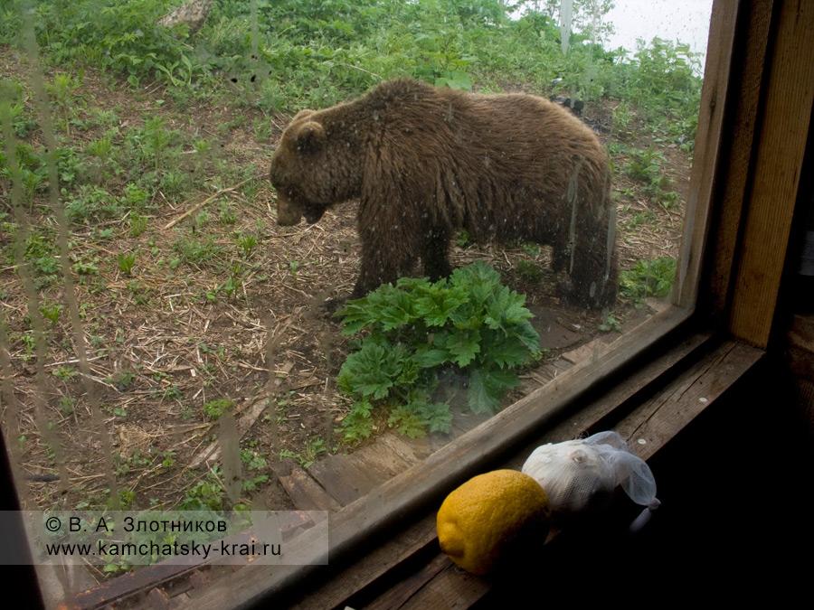 Камчатский бурый медведь у кордона Кроноцкого природного биосферного заповедника