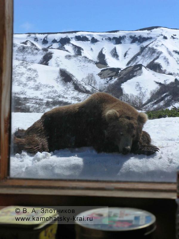 Камчатский бурый медведь в Долине гейзеров у кордона инспекторов Кроноцкого заповедника