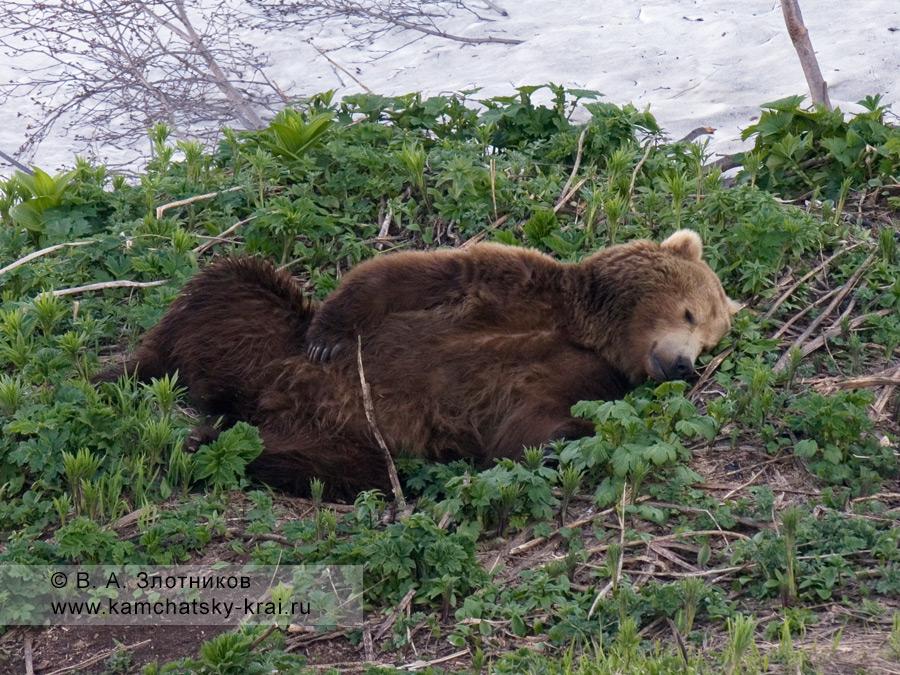Камчатский бурый медведь. Отдых у визит-центра в Долине гейзеров