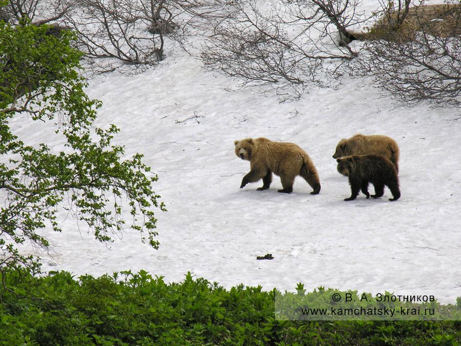 Семья камчатских бурых медведей в Долине гейзеров