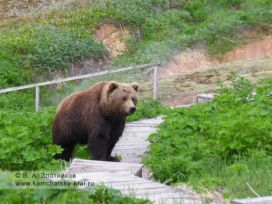 Камчатский бурый медведь на туристической тропе в Долине гейзеров
