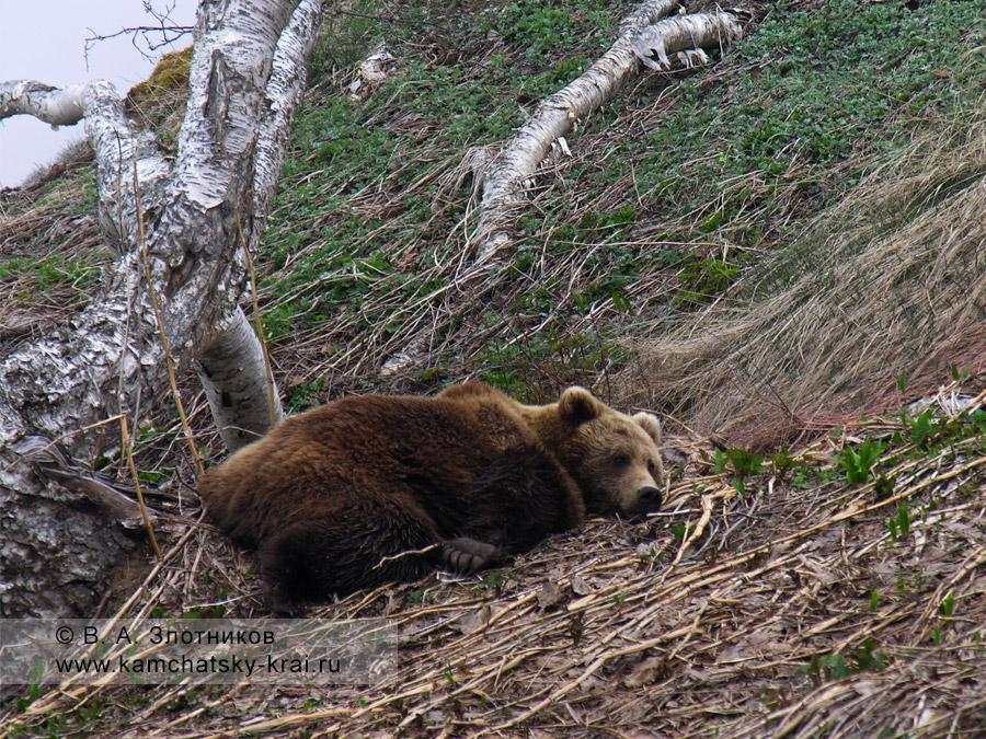 Камчатский бурый медведь. Лежка у ручья Горячего в Долине гейзеров
