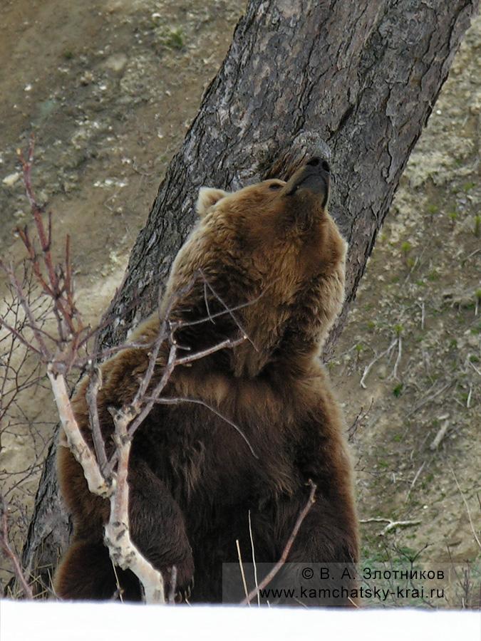 Камчатский бурый медведь. Маркировочное поведение: мечение березы