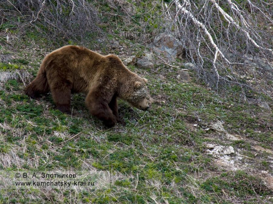Камчатский бурый медведь. Самец в период гона. Маркировка белой глиной
