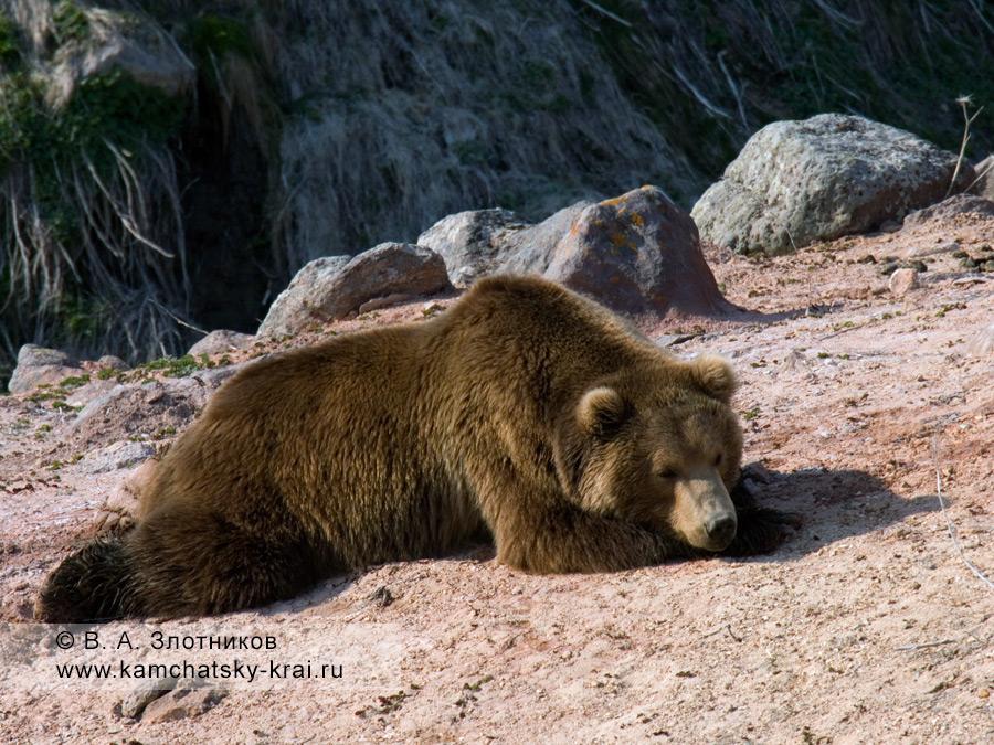 Камчатский бурый медведь. Отдых