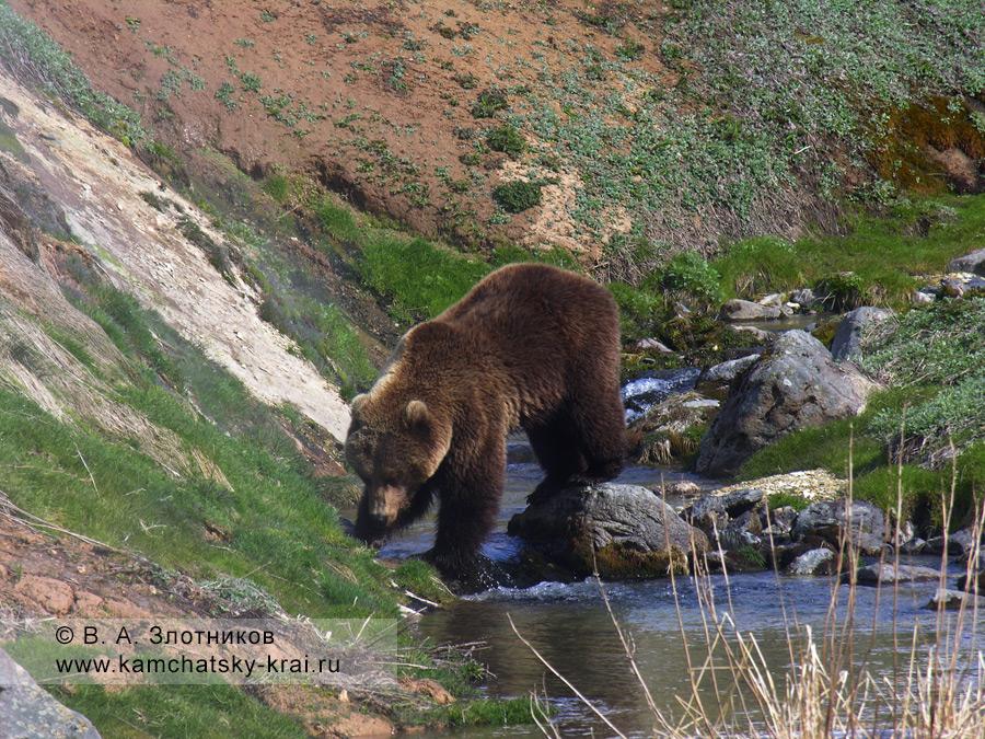Камчатский бурый медведь. Из серии Переправа через ручей Водопадный