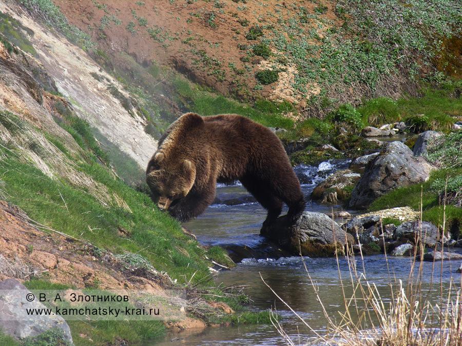 Камчатский медведь. Из серии Переправа через ручей Водопадный