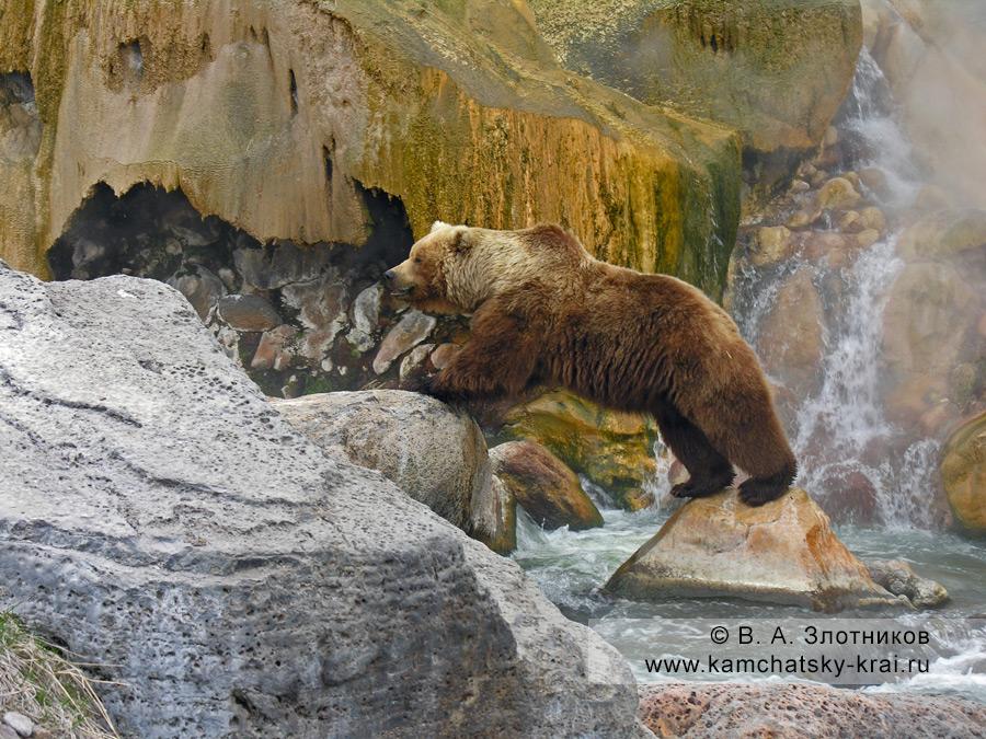 Камчатский бурый медведь. Медвежий переход под источником Малахитовый Грот в Долине гейзеров
