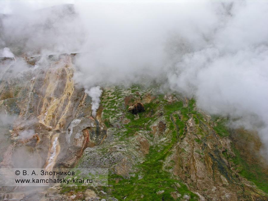 Камчатский бурый медведь у Витража в Долине гейзеров