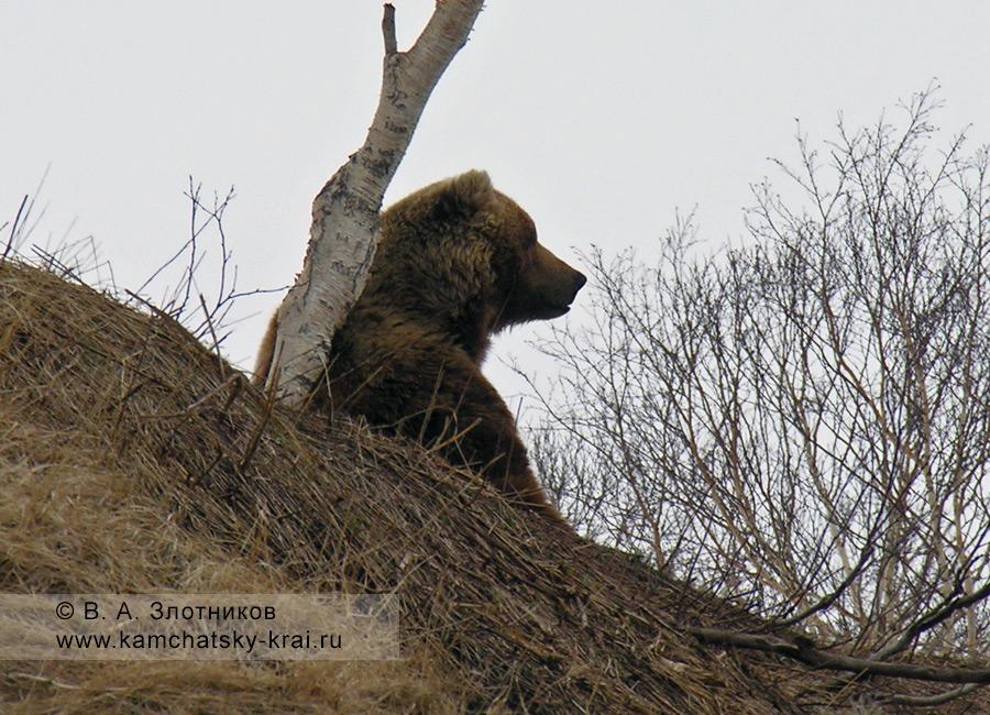 Камчатский бурый медведь. Маркировка участка (территории)