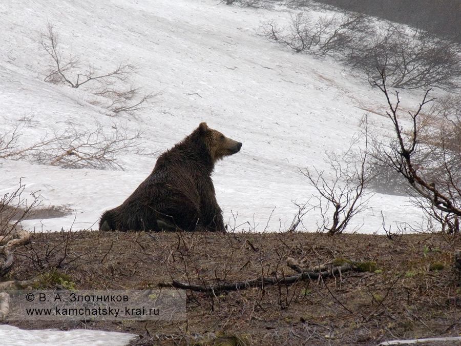 Камчатский бурый медведь в весеннем лесу