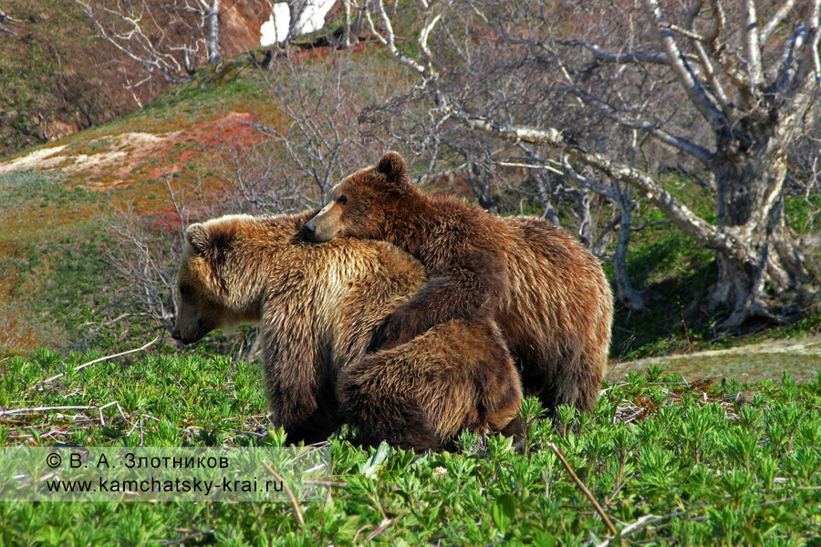 Камчатские бурые медведи (гонная пара)