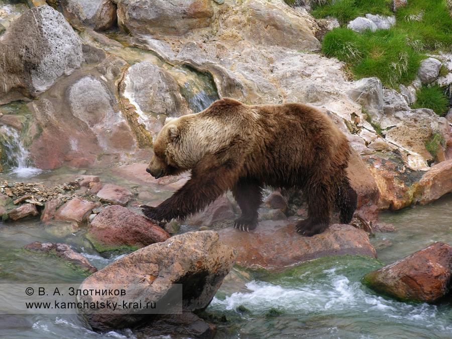Бурый медведь Камчатки. У Витража, берег реки Гейзерной, Долина гейзеров