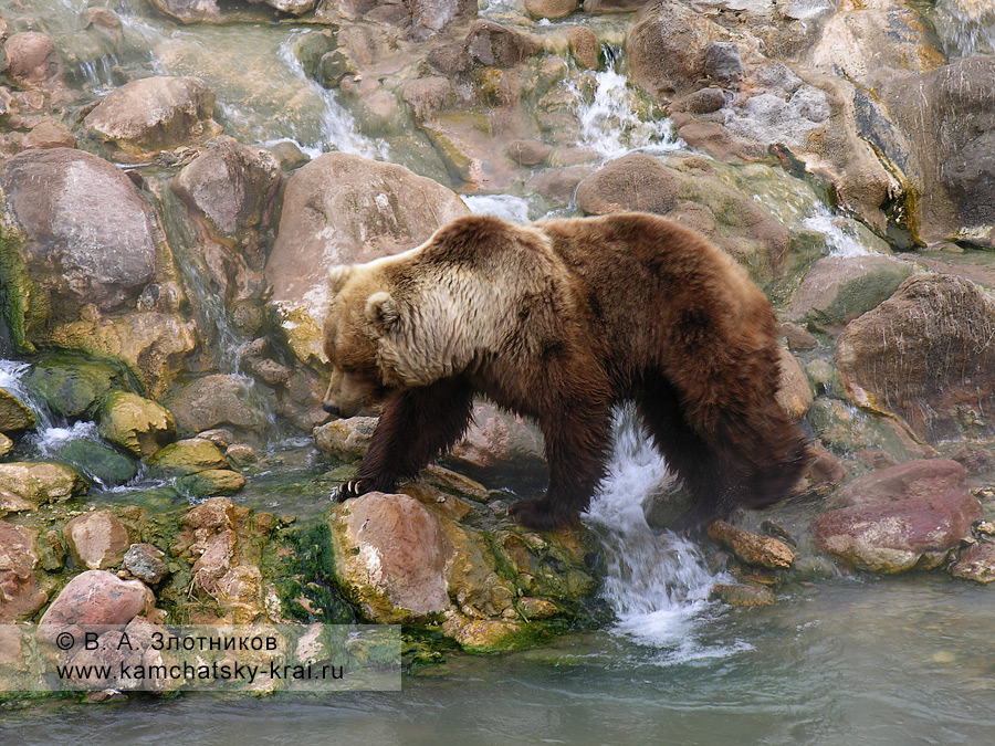 Камчатский бурый медведь у Витража. Долина гейзеров, берег реки Гейзерной