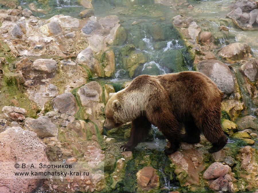 Камчатский бурый медведь у Витража на берегу реки Гейзерной в Долине гейзеров