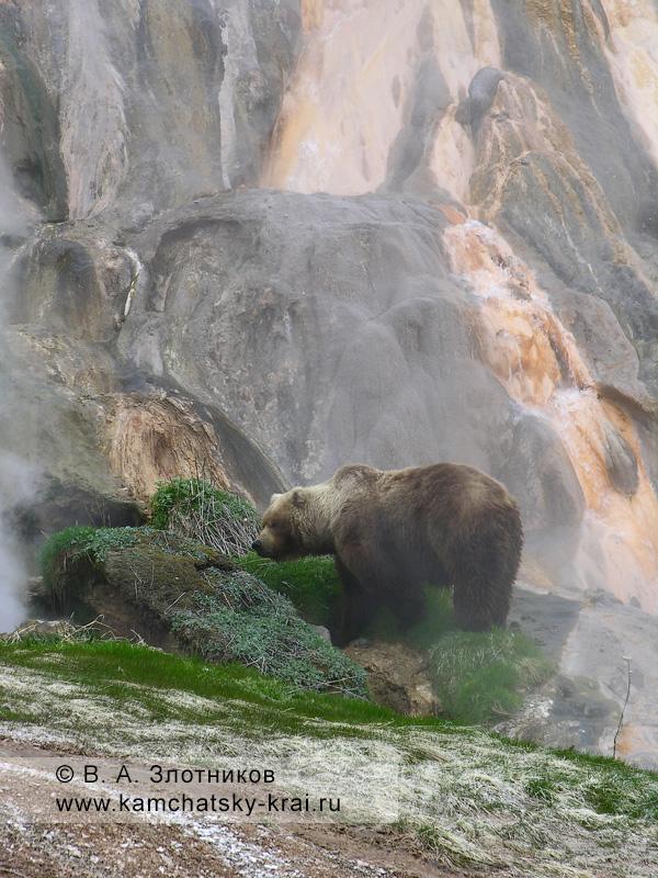 Бурый медведь Камчатки у Витража на берегу реки Гейзерной в Долине гейзеров