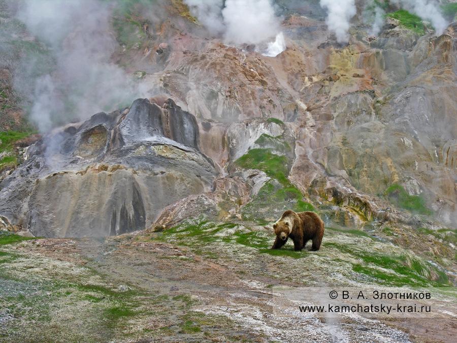 Камчатский бурый медведь у гейзера Двойного в Долине гейзеров на Камчатке