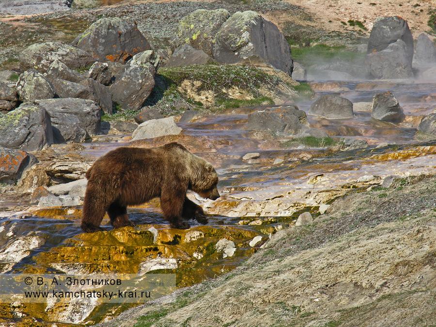 Бурый медведь Камчатки на сливе с гейзера Великан в Долине гейзеров