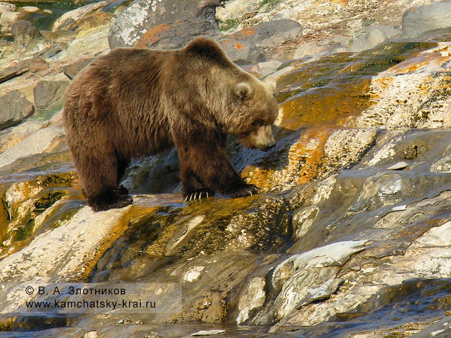 Камчатский бурый медведь на сливе с гейзера Великан в Долине гейзеров