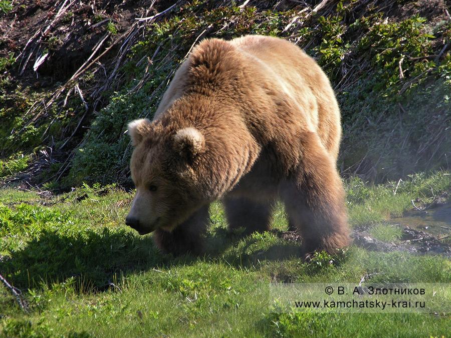 Крупный бурый медведь Камчатки