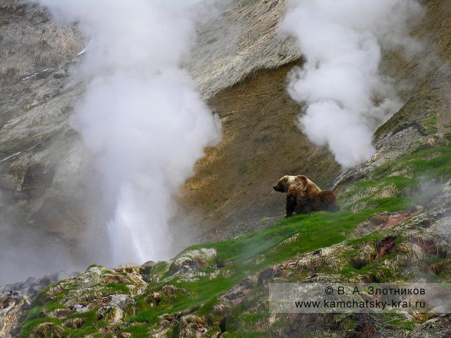 Камчатский бурый медведь в Долине гейзеров. Слева — гейзер Аверий