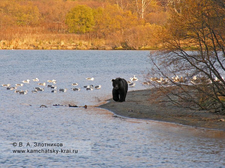 Камчатский бурый медведь у реки Озерной в Кроноцком заповеднике
