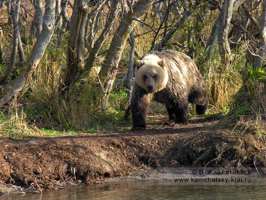 Камчатский бурый медведь идет по берегу реки Озерной в Кроноцком заповеднике