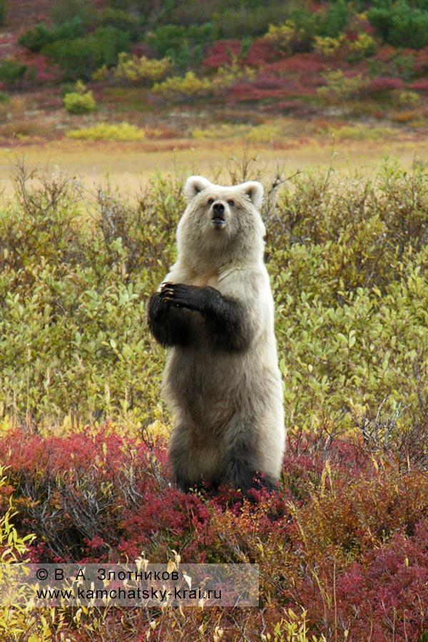 Камчатский бурый медведь. Молодая самка в Кроноцком заповеднике
