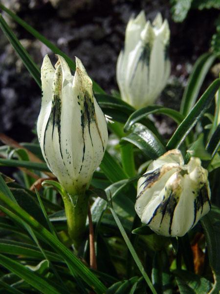 Горечавка холодная — Gentiana algida Pall. (семейство Горечавковые — Gentianaceae)