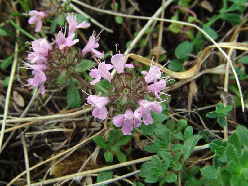 Тимьян разнолистный — Thymus diversifolius Klok. (семейство Яснотковые — Lamiaceae)