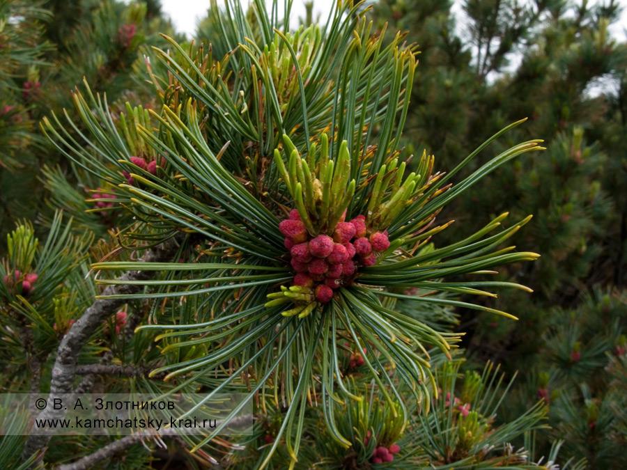 Кедровый стланик — Pinus pumila (Pall.) Regel (семейство Сосновые — Pinaceae)