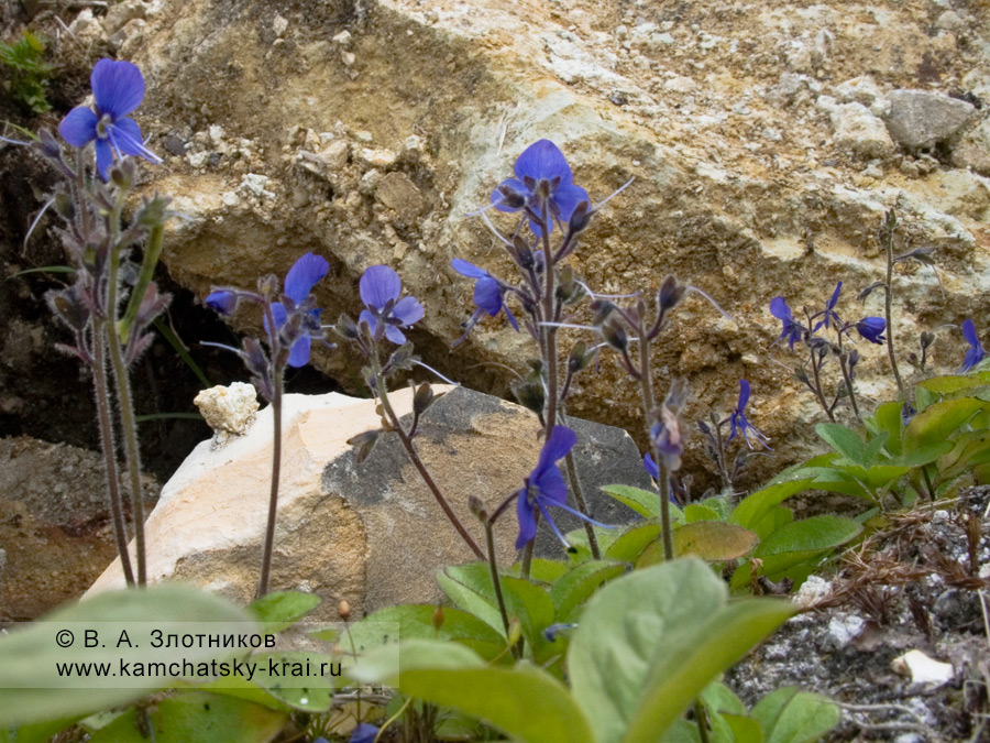 Вероника крупноцветковая — Veronica grandiflora Gaerth. (семейство Норичниковые — Scrophulariaceae)