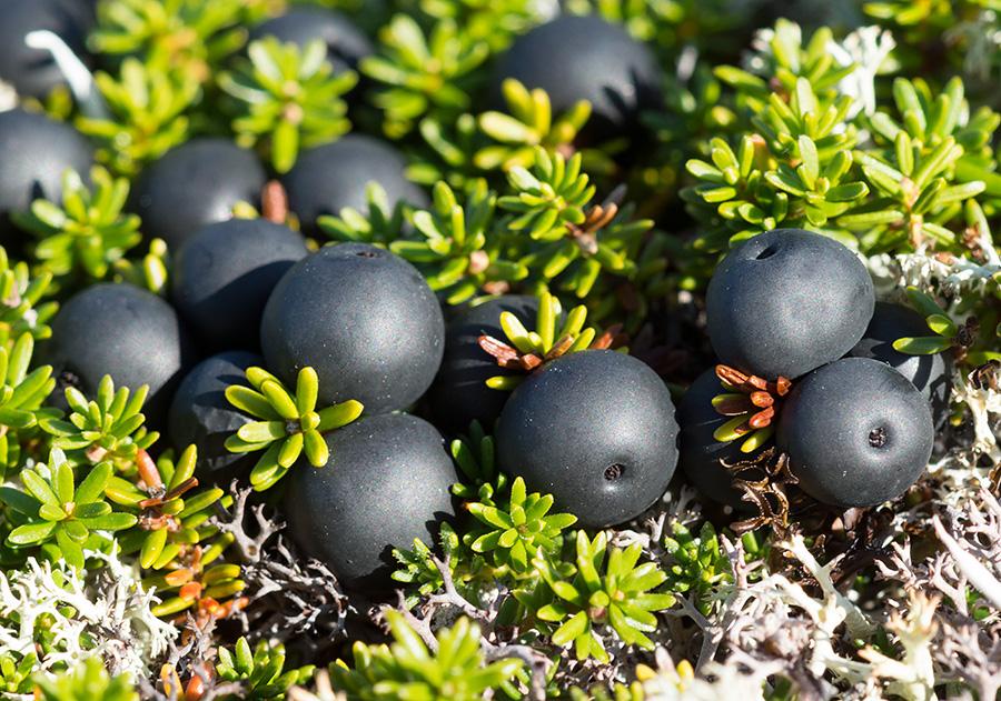 Шикша, или водяника черная, — Empetrum nigrum L. s. l. (семейство Шикшевые — Empetraceae)
