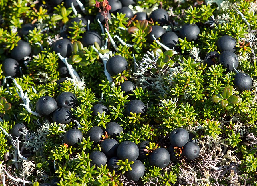 Водяника черная, или шикша, — Empetrum nigrum L. s. l. (семейство Шикшевые — Empetraceae)
