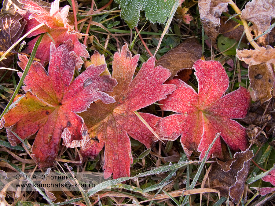 Герань волосистоцветковая — Geranium erianthum DC. (семейство Гераниевые — Geraniaceae)