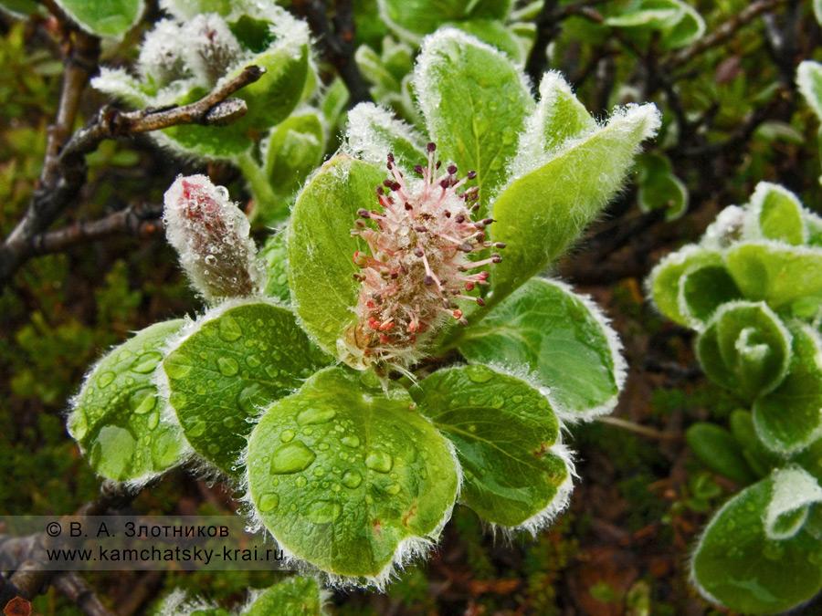 Ива арктическая — Salix arctica Pall. (семейство Ивовые — Salicaceae)