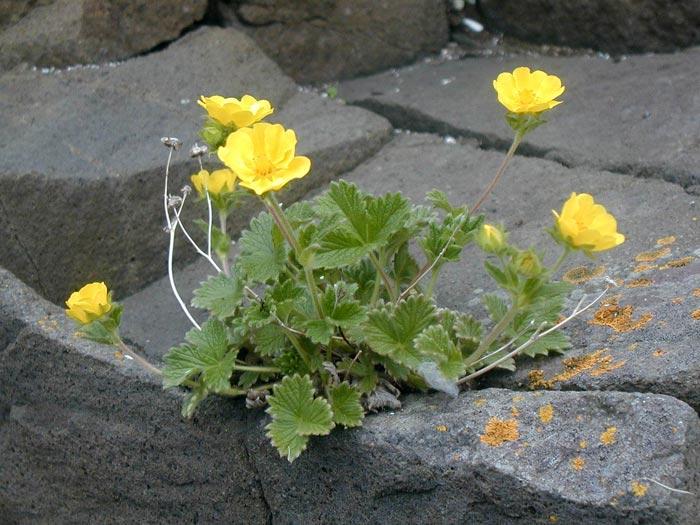 Лапчатка земляниковидная — Potentilla fragiformis (семейство Розоцветные — Rosaceae)