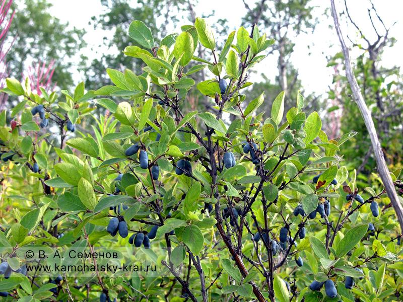 Куст жимолости голубой с ягодой