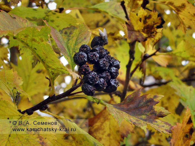 Ягоды боярышники зеленомякотного — Crataegus chlorosarca Maxim. Семейство Rosaceae — Розоцветные