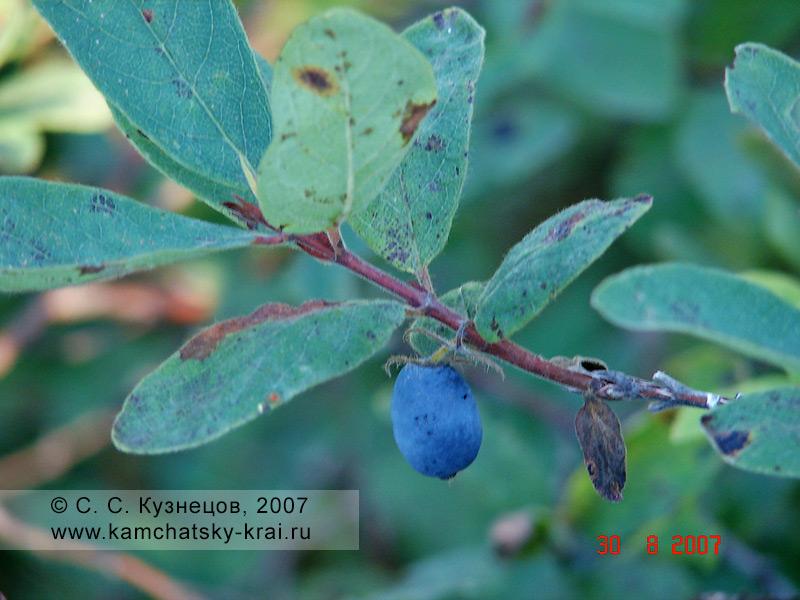Жимолость голубая — Lonicera caerulea L. (семейство Жимолостные — Caprifoliaceae)