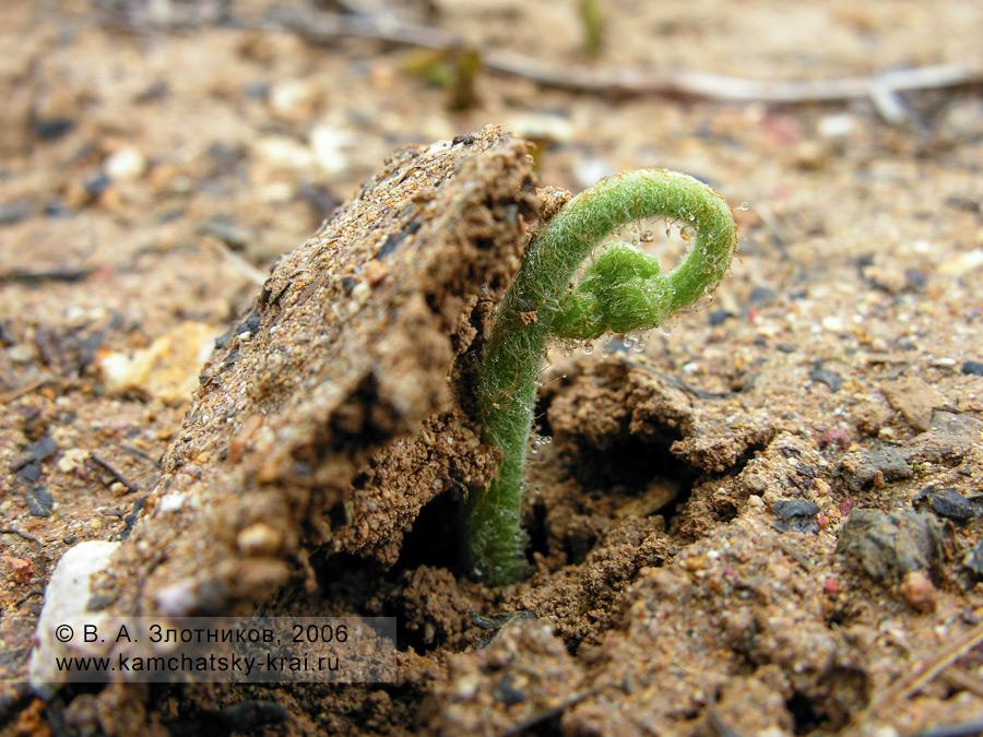 Орляк обыкновенный — Pteridium aquilinum (семейство Гиполеписовые — Hypolepidaceae)