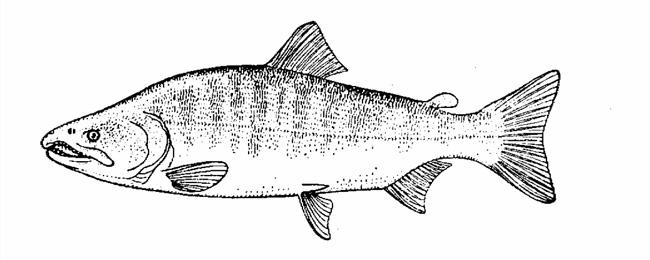 Сима Oncorhynchus masou
